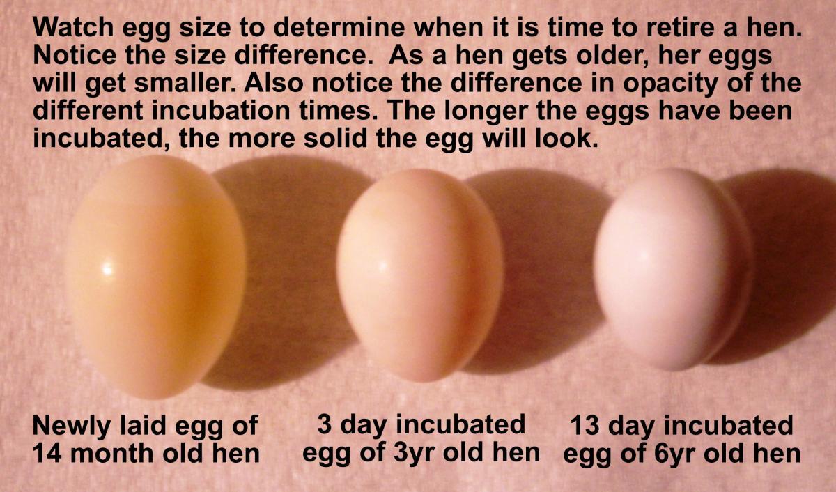 You Have Eggs | Laraine's Lady Gouldians